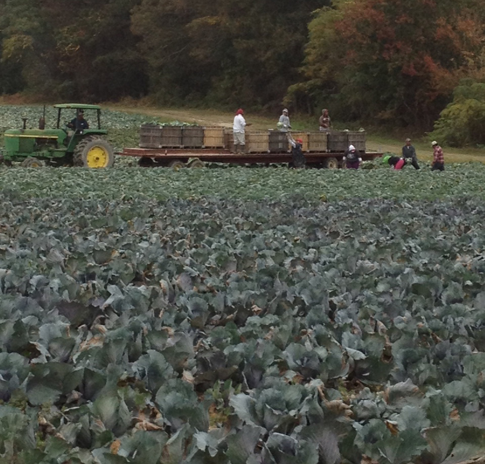 Photo of cabbage field
