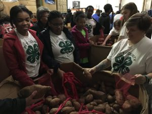 Pitt County 4-H volunteers sort potatoes on MLK Day